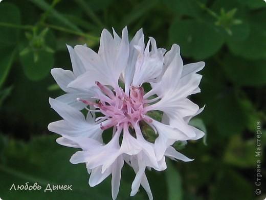 За окном вьюга.Зима не хочет уступать свои позиции.А я приглашаю вас в мой цветочный рай, чтобы вы могли насладиться красотой яркого летнего сада. фото 37