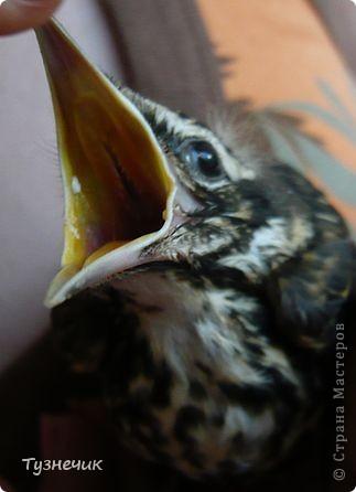 """Однажды по весне, я работала в детском лагере (приводили его в порядок). Наш сторож сказал, что нашел птичку, птенчика, который выпал из гнезда...Я не смогла пройти мимо и забрала его домой. Муж, когда я ему позвонила и сказала: """"Здесь маленький птенчик, погибнет, если не забрать"""" - ответил: """"Забирай, вырастим""""...)))) Вот так у нас появился малыш-птенчик фото 2"""