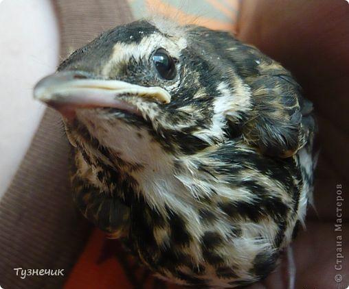 """Однажды по весне, я работала в детском лагере (приводили его в порядок). Наш сторож сказал, что нашел птичку, птенчика, который выпал из гнезда...Я не смогла пройти мимо и забрала его домой. Муж, когда я ему позвонила и сказала: """"Здесь маленький птенчик, погибнет, если не забрать"""" - ответил: """"Забирай, вырастим""""...)))) Вот так у нас появился малыш-птенчик фото 1"""