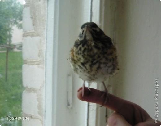 """Однажды по весне, я работала в детском лагере (приводили его в порядок). Наш сторож сказал, что нашел птичку, птенчика, который выпал из гнезда...Я не смогла пройти мимо и забрала его домой. Муж, когда я ему позвонила и сказала: """"Здесь маленький птенчик, погибнет, если не забрать"""" - ответил: """"Забирай, вырастим""""...)))) Вот так у нас появился малыш-птенчик фото 3"""