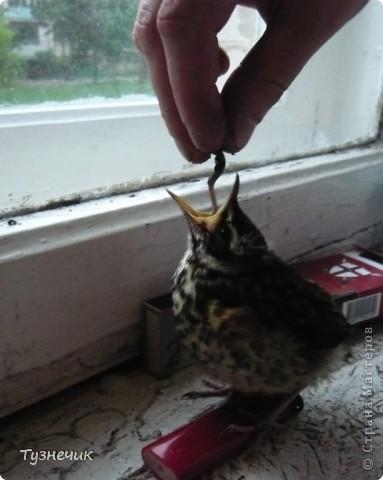 """Однажды по весне, я работала в детском лагере (приводили его в порядок). Наш сторож сказал, что нашел птичку, птенчика, который выпал из гнезда...Я не смогла пройти мимо и забрала его домой. Муж, когда я ему позвонила и сказала: """"Здесь маленький птенчик, погибнет, если не забрать"""" - ответил: """"Забирай, вырастим""""...)))) Вот так у нас появился малыш-птенчик фото 7"""