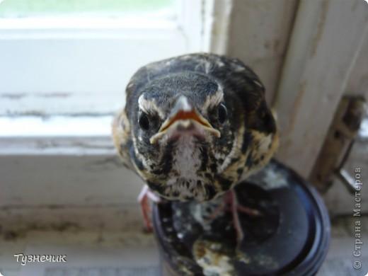 """Однажды по весне, я работала в детском лагере (приводили его в порядок). Наш сторож сказал, что нашел птичку, птенчика, который выпал из гнезда...Я не смогла пройти мимо и забрала его домой. Муж, когда я ему позвонила и сказала: """"Здесь маленький птенчик, погибнет, если не забрать"""" - ответил: """"Забирай, вырастим""""...)))) Вот так у нас появился малыш-птенчик фото 9"""
