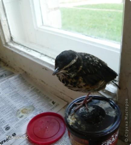 """Однажды по весне, я работала в детском лагере (приводили его в порядок). Наш сторож сказал, что нашел птичку, птенчика, который выпал из гнезда...Я не смогла пройти мимо и забрала его домой. Муж, когда я ему позвонила и сказала: """"Здесь маленький птенчик, погибнет, если не забрать"""" - ответил: """"Забирай, вырастим""""...)))) Вот так у нас появился малыш-птенчик фото 11"""