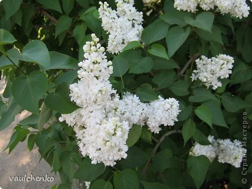 УРА!!! Май цветет и празднует! Всех поздравляю с самым нежно-сиренево-ландышевым зелено-праздничным МАЕМ!!! вот и у меня получилось такое майское деревце - цветущее и радостное! фото 12