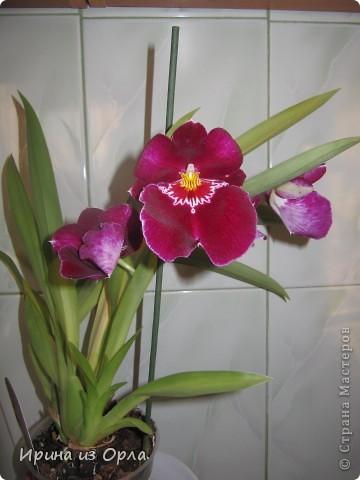 У меня много цветов дома, но вот орхидей не было никогда. Насмотревшись на изумительную красоту этого цветка, так захотелось иметь эту красавицу у себя на подоконнике. Но я сомневалась, будет ли она расти у нас, потому что в квартире очень сыро всегда, да и прохладно.  И вот, в ноябре 2011 года мне подарили орхидею Miltonia. Она, к сожалению, цвела недолго, т.к. подмерзла. фото 1