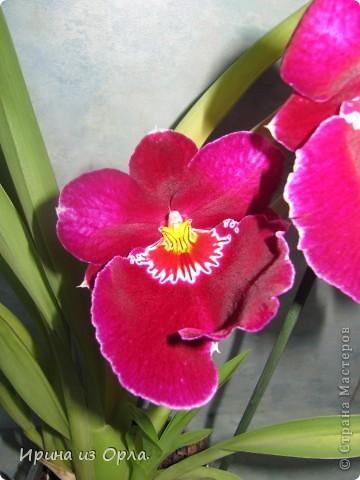 У меня много цветов дома, но вот орхидей не было никогда. Насмотревшись на изумительную красоту этого цветка, так захотелось иметь эту красавицу у себя на подоконнике. Но я сомневалась, будет ли она расти у нас, потому что в квартире очень сыро всегда, да и прохладно.  И вот, в ноябре 2011 года мне подарили орхидею Miltonia. Она, к сожалению, цвела недолго, т.к. подмерзла. фото 4