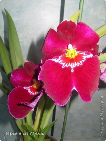 У меня много цветов дома, но вот орхидей не было никогда. Насмотревшись на изумительную красоту этого цветка, так захотелось иметь эту красавицу у себя на подоконнике. Но я сомневалась, будет ли она расти у нас, потому что в квартире очень сыро всегда, да и прохладно.  И вот, в ноябре 2011 года мне подарили орхидею Miltonia. Она, к сожалению, цвела недолго, т.к. подмерзла. фото 2