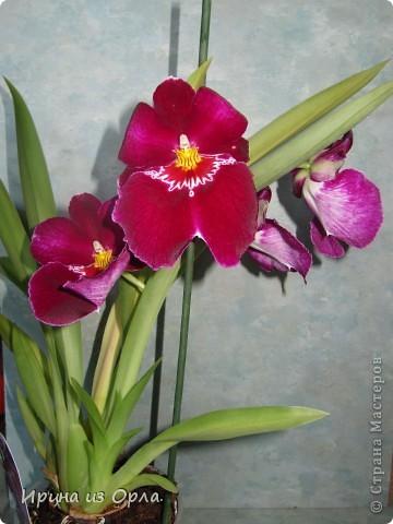 У меня много цветов дома, но вот орхидей не было никогда. Насмотревшись на изумительную красоту этого цветка, так захотелось иметь эту красавицу у себя на подоконнике. Но я сомневалась, будет ли она расти у нас, потому что в квартире очень сыро всегда, да и прохладно.  И вот, в ноябре 2011 года мне подарили орхидею Miltonia. Она, к сожалению, цвела недолго, т.к. подмерзла. фото 3
