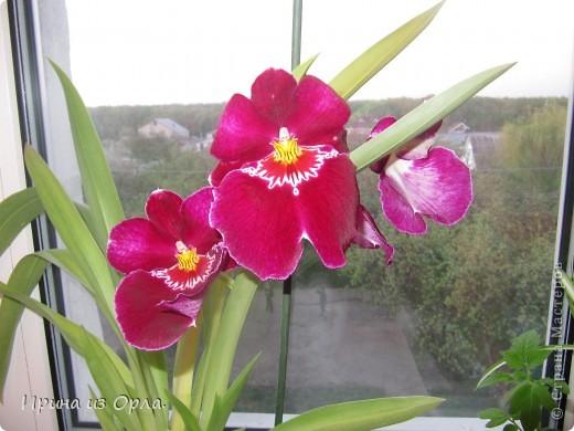 У меня много цветов дома, но вот орхидей не было никогда. Насмотревшись на изумительную красоту этого цветка, так захотелось иметь эту красавицу у себя на подоконнике. Но я сомневалась, будет ли она расти у нас, потому что в квартире очень сыро всегда, да и прохладно.  И вот, в ноябре 2011 года мне подарили орхидею Miltonia. Она, к сожалению, цвела недолго, т.к. подмерзла. фото 5