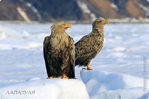 Орланы на добыче, ждут рыбку фото 1