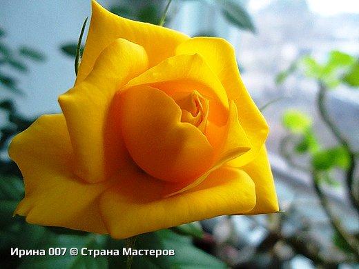Наконец - то закинула фото комнатных цветов. Надеюсь, приятного просмотра. Глоксиния. фото 9