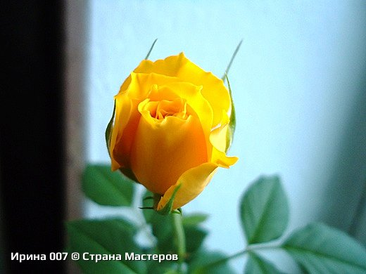 Наконец - то закинула фото комнатных цветов. Надеюсь, приятного просмотра. Глоксиния. фото 10