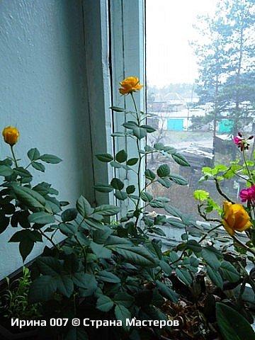 Наконец - то закинула фото комнатных цветов. Надеюсь, приятного просмотра. Глоксиния. фото 11