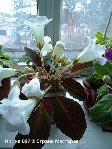 Наконец - то закинула фото комнатных цветов. Надеюсь, приятного просмотра. Глоксиния. фото 3