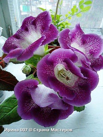 Наконец - то закинула фото комнатных цветов. Надеюсь, приятного просмотра. Глоксиния. фото 1