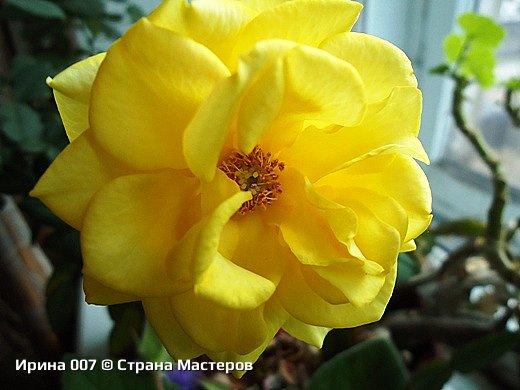 Наконец - то закинула фото комнатных цветов. Надеюсь, приятного просмотра. Глоксиния. фото 7