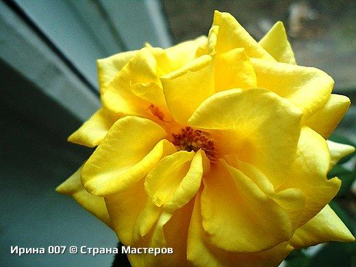 Наконец - то закинула фото комнатных цветов. Надеюсь, приятного просмотра. Глоксиния. фото 8