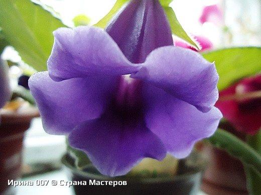 Наконец - то закинула фото комнатных цветов. Надеюсь, приятного просмотра. Глоксиния. фото 12