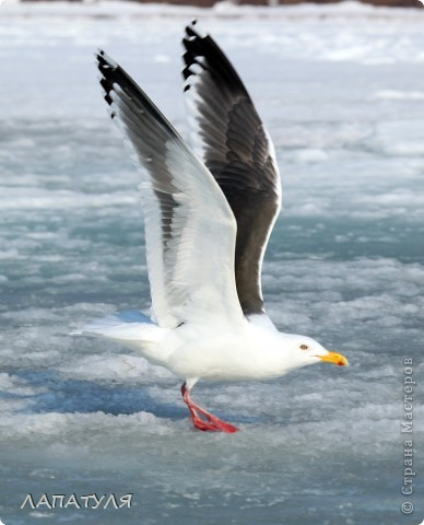 Орланы на добыче, ждут рыбку фото 14