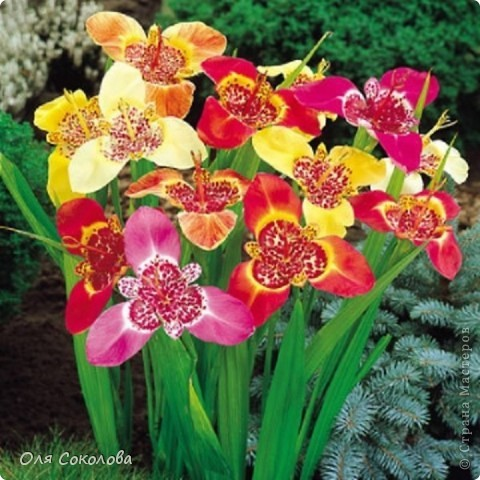 Знакомьтесь, это Тигридия!  Я очень люблю это растение, оно похоже на какую-то экзотическую орхидею или не знаю даже на что. Особенность этого цветка заключается в том, что одна луковица дает только один цветок и цветет он ровно одни сутки. Поэтому я с нетерпением жду появления цветков и со всех сторон фотографирую, желая запечатлеть эту красоту. Вот такая сказочная принцесса.   Когда я узнала о том, что из ХФ можно сделать любые цветы, не отличимые от живых - сразу вспомнила о тигридиях. Вот бы сделать эти цветы. И тогда они могли бы цвести дома не один день.  Но я только учусь лепить и у меня еще ничего не получается. Вот если бы мастерицы смогли слепить такой цветок и сделать МК по его лепке - может я смогла бы повторить?  Первые три фото - мои, остальные три - из интернета (там сами цветки виднее).    фото 5