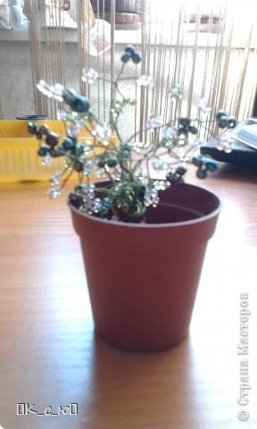 Добрый день, жителям СМ!Сегодня я хочу Вам показать мои цветы и деревца. Начнем с моего дерева счастья.(Извините за качество фото.) фото 1