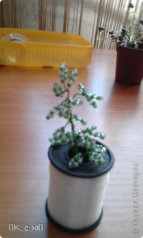 Добрый день, жителям СМ!Сегодня я хочу Вам показать мои цветы и деревца. Начнем с моего дерева счастья.(Извините за качество фото.) фото 17
