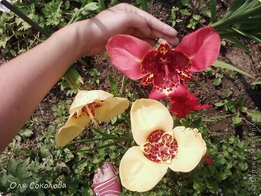 Знакомьтесь, это Тигридия!  Я очень люблю это растение, оно похоже на какую-то экзотическую орхидею или не знаю даже на что. Особенность этого цветка заключается в том, что одна луковица дает только один цветок и цветет он ровно одни сутки. Поэтому я с нетерпением жду появления цветков и со всех сторон фотографирую, желая запечатлеть эту красоту. Вот такая сказочная принцесса.   Когда я узнала о том, что из ХФ можно сделать любые цветы, не отличимые от живых - сразу вспомнила о тигридиях. Вот бы сделать эти цветы. И тогда они могли бы цвести дома не один день.  Но я только учусь лепить и у меня еще ничего не получается. Вот если бы мастерицы смогли слепить такой цветок и сделать МК по его лепке - может я смогла бы повторить?  Первые три фото - мои, остальные три - из интернета (там сами цветки виднее).    фото 3