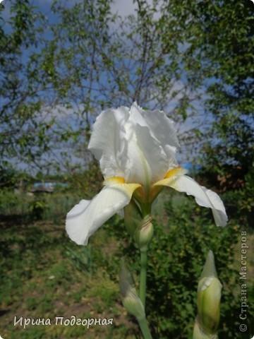 У нас на Кубани очень много видов Ирисов. Хочу показать некоторые из них. Этот  вид - темнофиолетовый. фото 6