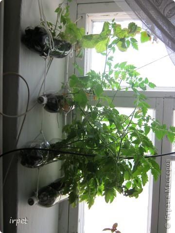 Вчера ребенок съел первый домашний огурец!!! А если бы мама их к Новому году посадила - попробовал бы на пару месяцев раньше)))  Вот так мы садим овощи на зиму и размещаем их над подоконником без ущерба мета для цветов)) фото 1