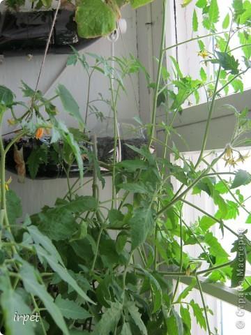 Вчера ребенок съел первый домашний огурец!!! А если бы мама их к Новому году посадила - попробовал бы на пару месяцев раньше)))  Вот так мы садим овощи на зиму и размещаем их над подоконником без ущерба мета для цветов)) фото 2