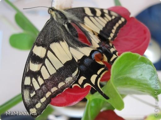 """Здравствуйте! Хочу рассказать историю, которая произошла с этой бабочкой. Два года назад мой сын (когда гостил у бабушки)нашел на ветке укропа гусеницу, которая уже начала закутываться в кокон. Он оторвал эту веточку, поместил ее в банку и привез домой. Я поставила банку на подоконник и забыла про нее совсем. Было это в августе. А однажды одним январским утром ребенок подбегает и кричит: """"Мама, у нас бабочка вылупилась!"""" фото 2"""