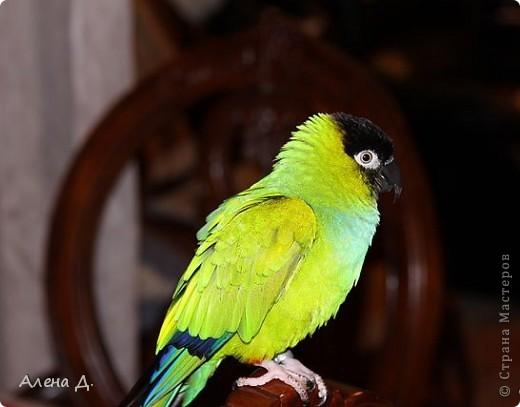 Наш Криша! Ему 6 лет.Амазонский попуга, их много разновидностей, помоему 27. Забавный и говорливый парень. Появился он у нас с магазина! У меня было в детстве много волнистых попугайчиков.., но с ними вечно что-то случалось..в основном улетали. Этот красавец никуда уже не денеться...наш любимчик. фото 17