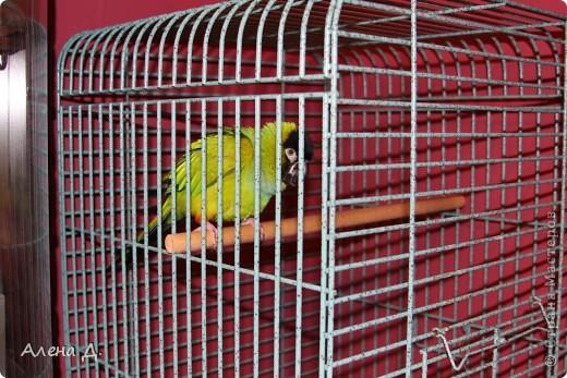 Наш Криша! Ему 6 лет.Амазонский попуга, их много разновидностей, помоему 27. Забавный и говорливый парень. Появился он у нас с магазина! У меня было в детстве много волнистых попугайчиков.., но с ними вечно что-то случалось..в основном улетали. Этот красавец никуда уже не денеться...наш любимчик. фото 10