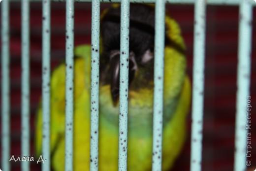 Наш Криша! Ему 6 лет.Амазонский попуга, их много разновидностей, помоему 27. Забавный и говорливый парень. Появился он у нас с магазина! У меня было в детстве много волнистых попугайчиков.., но с ними вечно что-то случалось..в основном улетали. Этот красавец никуда уже не денеться...наш любимчик. фото 12