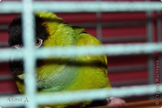 Наш Криша! Ему 6 лет.Амазонский попуга, их много разновидностей, помоему 27. Забавный и говорливый парень. Появился он у нас с магазина! У меня было в детстве много волнистых попугайчиков.., но с ними вечно что-то случалось..в основном улетали. Этот красавец никуда уже не денеться...наш любимчик. фото 13
