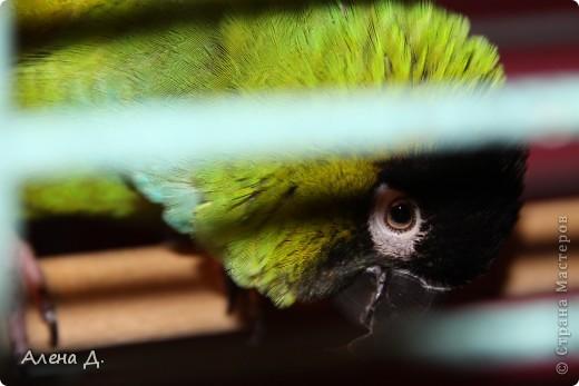 Наш Криша! Ему 6 лет.Амазонский попуга, их много разновидностей, помоему 27. Забавный и говорливый парень. Появился он у нас с магазина! У меня было в детстве много волнистых попугайчиков.., но с ними вечно что-то случалось..в основном улетали. Этот красавец никуда уже не денеться...наш любимчик. фото 15