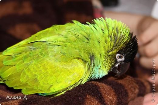 Наш Криша! Ему 6 лет.Амазонский попуга, их много разновидностей, помоему 27. Забавный и говорливый парень. Появился он у нас с магазина! У меня было в детстве много волнистых попугайчиков.., но с ними вечно что-то случалось..в основном улетали. Этот красавец никуда уже не денеться...наш любимчик. фото 4
