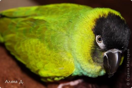 Наш Криша! Ему 6 лет.Амазонский попуга, их много разновидностей, помоему 27. Забавный и говорливый парень. Появился он у нас с магазина! У меня было в детстве много волнистых попугайчиков.., но с ними вечно что-то случалось..в основном улетали. Этот красавец никуда уже не денеться...наш любимчик. фото 5