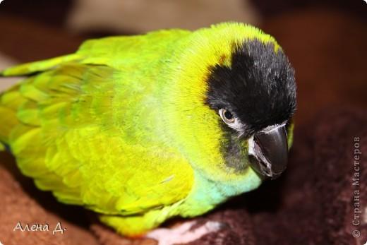 Наш Криша! Ему 6 лет.Амазонский попуга, их много разновидностей, помоему 27. Забавный и говорливый парень. Появился он у нас с магазина! У меня было в детстве много волнистых попугайчиков.., но с ними вечно что-то случалось..в основном улетали. Этот красавец никуда уже не денеться...наш любимчик. фото 6