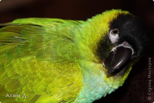 Наш Криша! Ему 6 лет.Амазонский попуга, их много разновидностей, помоему 27. Забавный и говорливый парень. Появился он у нас с магазина! У меня было в детстве много волнистых попугайчиков.., но с ними вечно что-то случалось..в основном улетали. Этот красавец никуда уже не денеться...наш любимчик. фото 1