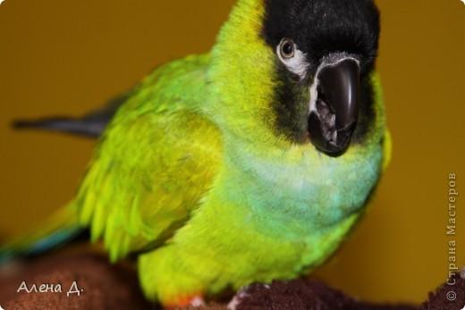 Наш Криша! Ему 6 лет.Амазонский попуга, их много разновидностей, помоему 27. Забавный и говорливый парень. Появился он у нас с магазина! У меня было в детстве много волнистых попугайчиков.., но с ними вечно что-то случалось..в основном улетали. Этот красавец никуда уже не денеться...наш любимчик. фото 7