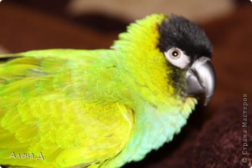 Наш Криша! Ему 6 лет.Амазонский попуга, их много разновидностей, помоему 27. Забавный и говорливый парень. Появился он у нас с магазина! У меня было в детстве много волнистых попугайчиков.., но с ними вечно что-то случалось..в основном улетали. Этот красавец никуда уже не денеться...наш любимчик. фото 8