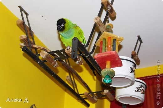 Наш Криша! Ему 6 лет.Амазонский попуга, их много разновидностей, помоему 27. Забавный и говорливый парень. Появился он у нас с магазина! У меня было в детстве много волнистых попугайчиков.., но с ними вечно что-то случалось..в основном улетали. Этот красавец никуда уже не денеться...наш любимчик. фото 23