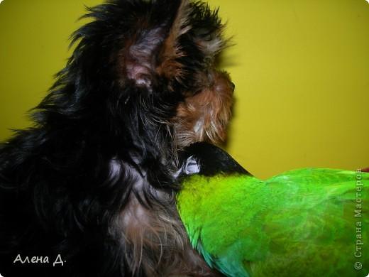 Наш Криша! Ему 6 лет.Амазонский попуга, их много разновидностей, помоему 27. Забавный и говорливый парень. Появился он у нас с магазина! У меня было в детстве много волнистых попугайчиков.., но с ними вечно что-то случалось..в основном улетали. Этот красавец никуда уже не денеться...наш любимчик. фото 21
