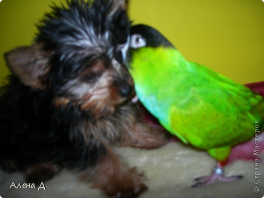 Наш Криша! Ему 6 лет.Амазонский попуга, их много разновидностей, помоему 27. Забавный и говорливый парень. Появился он у нас с магазина! У меня было в детстве много волнистых попугайчиков.., но с ними вечно что-то случалось..в основном улетали. Этот красавец никуда уже не денеться...наш любимчик. фото 22