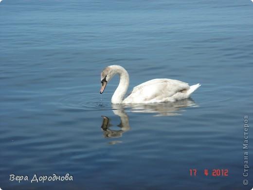 Царевна-Лебедь... фото 1