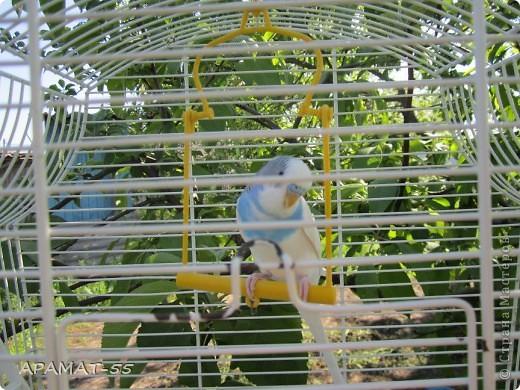 """В. Остров  Попугай сидит на ветке Яркой красочной расцветки. Он, конечно, настоящий И по-русски говорящий. Иногда кричит по- птичьи. Птица всё же! Для приличья Замолчит минут на пять, А потом - опять кричать!  Вот решила поучаствовать в конкурсе и я. Только история с попугаями  получается не очень хорошая. Первого попугайчика  звали Кеша. Его любимое место было у меня на плече, что бы я не делала, куда бы не ходила (в пределах комнат) он не улетал сидел на плече. Я про него забывала. И он меня не доставал. И вот в один прекрасный день, сидя на плече, он выехал со мной на улицу...вспорхнул и больше мы его не видели.Обошли все вокруг, но так и не нашли. Огорчению не было предела.Прошло немного времени и дети привезли второго попугая.  Он был совсем маленький. Назвали его Яшей.Сейчас ему 2 года. Когда выпускаем из клетки он садится на плечо и мы учимся разговаривать. Говорит очень много слов.Вот некоторые: Яша, Яшка, Яшенька. Яшенька хороший. Дружочек ангелочек. Солнышко ясное. Крошечка хаврошечка. Чо молчишь разговаривай. Чаю хочешь? Яша каши хочет. Привет мое солнышко. Машенька девочка наша. Внучечка наша. Никита. Кирюша пришел. Привет привет Максим. и еще много других. Один человек учил его говорить """"Водки хочешь?"""" Но видимо это слово не его. Не научился. фото 5"""