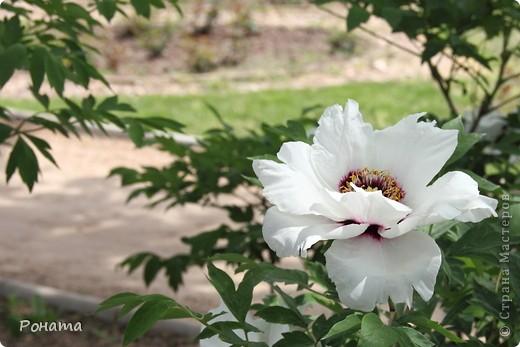 Здравствуйте все! В прошлом году мы были в нашем дендрарии летом (http://stranamasterov.ru/node/223279). Тогда цвели розы, мнооого роз!:)) А сейчас мы посетили его весной. Немного не успели застать мнооого пионов, они уже почти все отцвели в начале мая. Оставалось всего пара кустов с цветами. фото 1