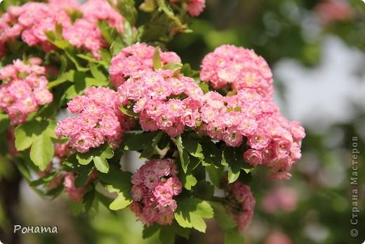 Здравствуйте все! В прошлом году мы были в нашем дендрарии летом (http://stranamasterov.ru/node/223279). Тогда цвели розы, мнооого роз!:)) А сейчас мы посетили его весной. Немного не успели застать мнооого пионов, они уже почти все отцвели в начале мая. Оставалось всего пара кустов с цветами. фото 21