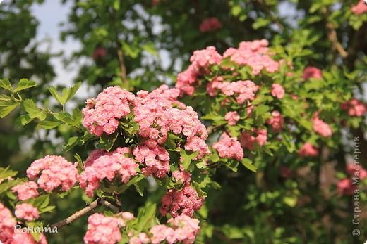 Здравствуйте все! В прошлом году мы были в нашем дендрарии летом (http://stranamasterov.ru/node/223279). Тогда цвели розы, мнооого роз!:)) А сейчас мы посетили его весной. Немного не успели застать мнооого пионов, они уже почти все отцвели в начале мая. Оставалось всего пара кустов с цветами. фото 20